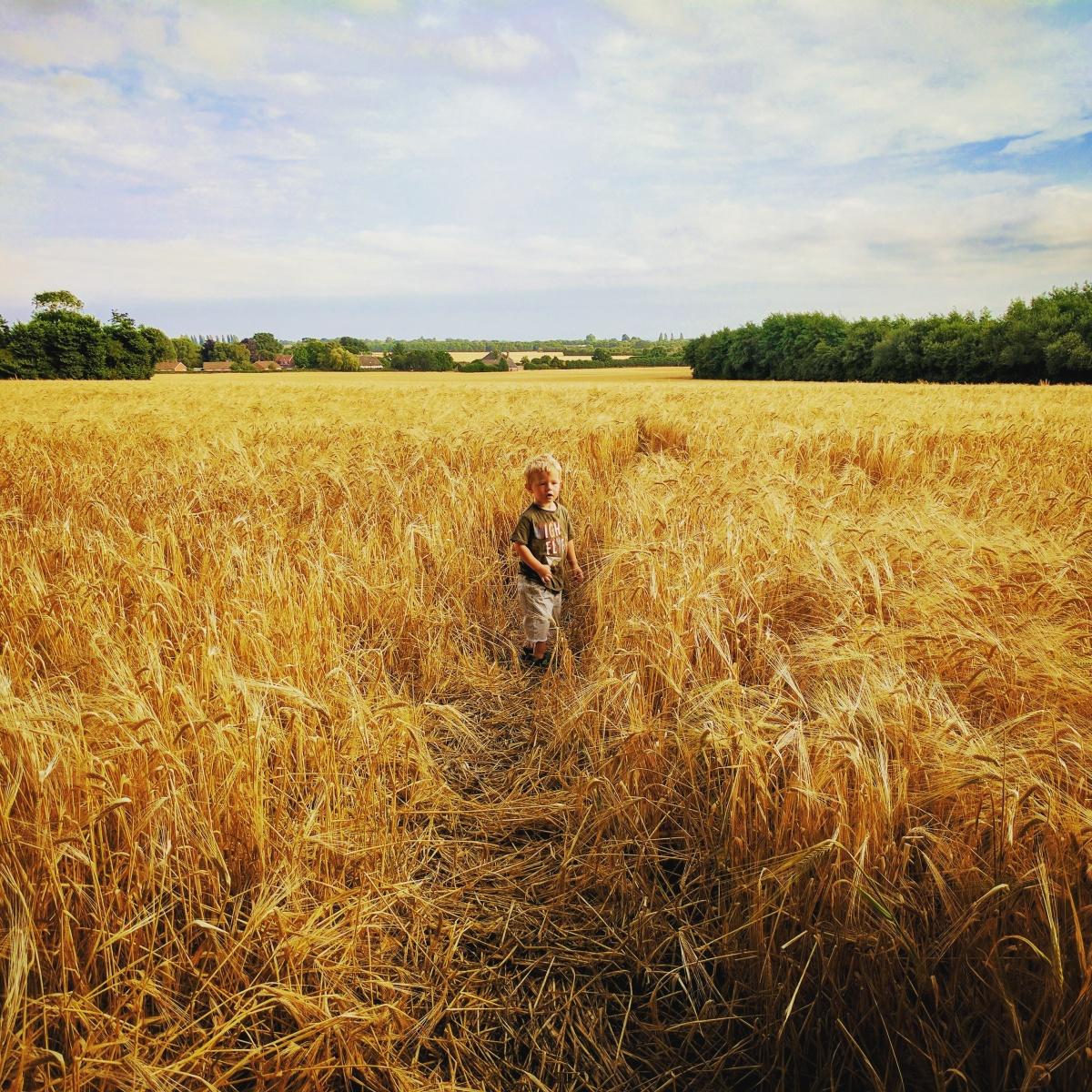 Freddie exploring the 🌽 #havant#littleexplorer